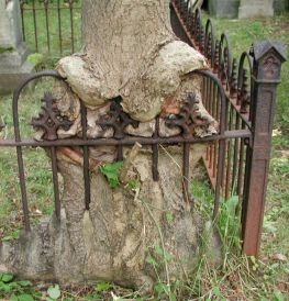 tree growing over fence